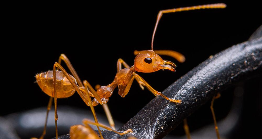 ant-close-up-pest-control