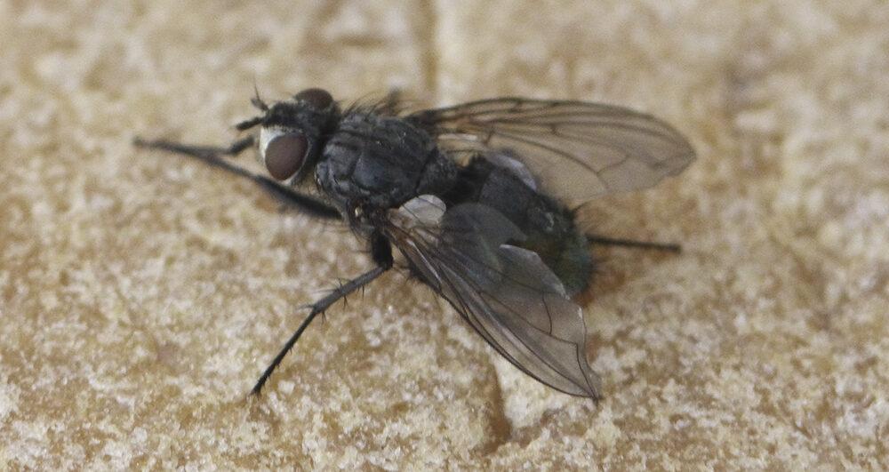 flies-pest-control