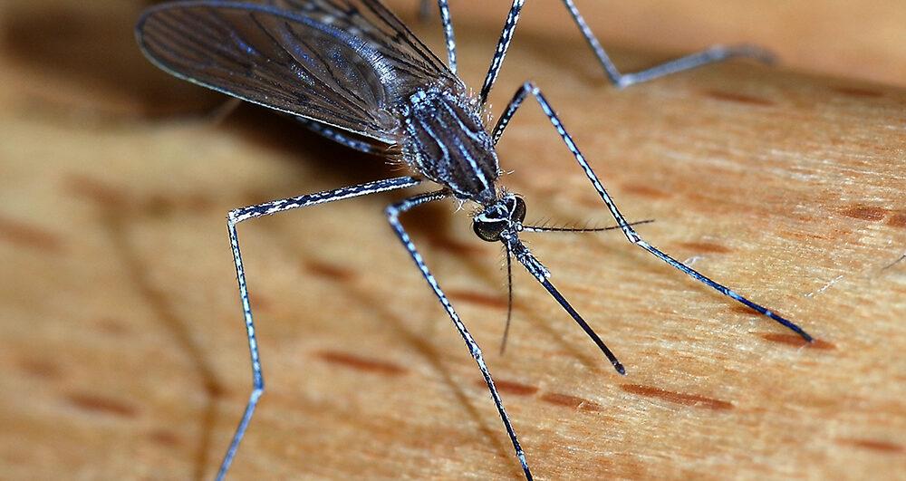 Mosquito_close-up