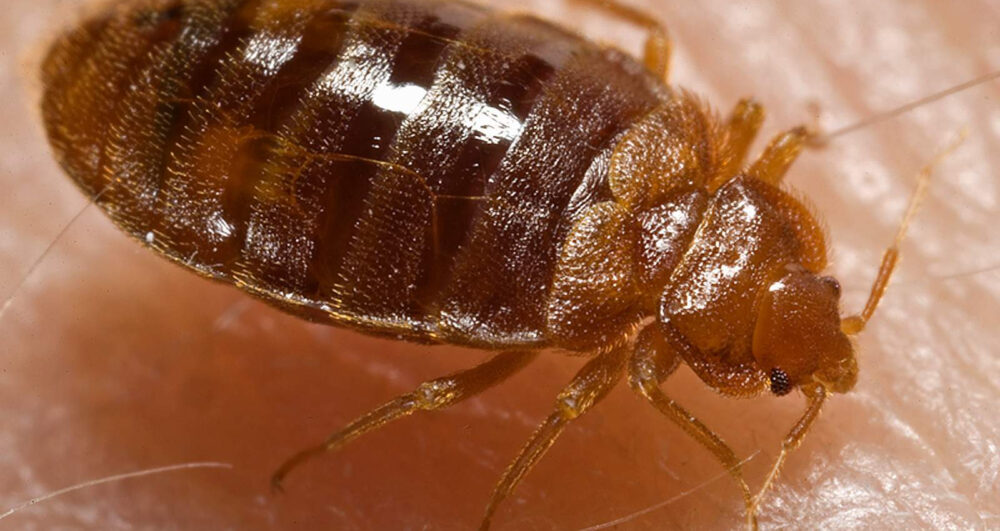 bed-bugs-pest