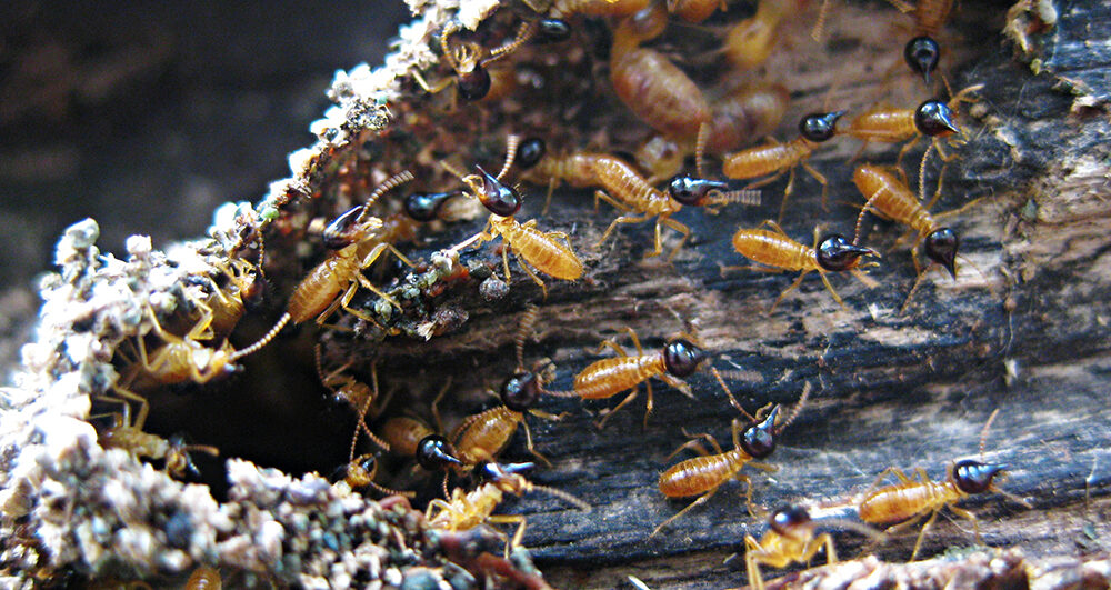 termite_soldiers_pest